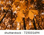 yellow maple leaves close up in ... | Shutterstock . vector #725031694