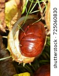 Small photo of Chestnut (Aesculus Hippocastanum) lying between grass and leaves at an autumn and sunny day