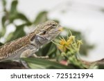 bearded dragon reptile on a log ... | Shutterstock . vector #725121994