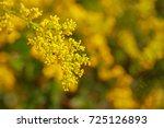 Galium Verum Flower   Lady\'s...