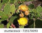 "Yellow ""devil's Tongue"" Cactus..."