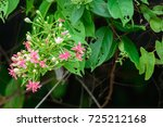 quisqualis indica  or ... | Shutterstock . vector #725212168