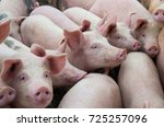 Livestock breeding. group of...