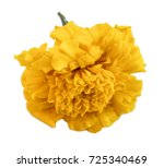 Marigold Flower Isolated Lies...