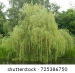 Weeping Willow Tree  Salix...