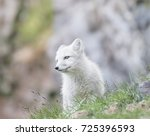 white delight   an arctic fox... | Shutterstock . vector #725396593