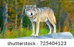 large male grey wolf standing... | Shutterstock . vector #725404123