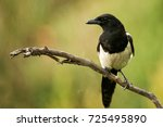 Magpie Sits On A Stick On A...