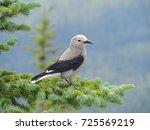 a clark's nutcracker  nucifraga ... | Shutterstock . vector #725569219