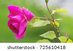 Pink Rose Bud On A Stem With...