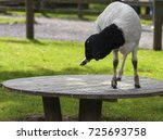 somali black headed sheep... | Shutterstock . vector #725693758