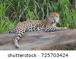 A Jaguar  Panthera Onca  Rests...