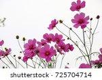 cosmos flower | Shutterstock . vector #725704714