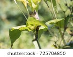 eastern chipmunk  tamias