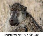 yellow baboon  amboseli... | Shutterstock . vector #725734030