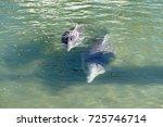 australian humpback dolphins  a ... | Shutterstock . vector #725746714