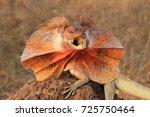 Frilled Lizard  Chlamydosaurus...