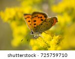Small photo of American copper butterfly on Solidago Canadensis.