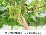 armer in his vineyard checking... | Shutterstock . vector #725826793
