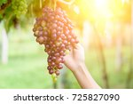 armer in his vineyard checking... | Shutterstock . vector #725827090