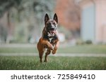 Stock photo belgian shepherd dog malinois dog running at autumn park 725849410