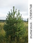 beauty pine tree. into the... | Shutterstock . vector #725854768