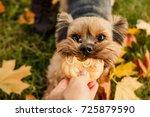 yorkshire terrier.dog is symbol ... | Shutterstock . vector #725879590