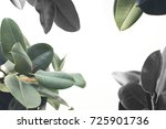 close up of green ficus plant ... | Shutterstock . vector #725901736