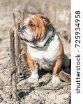 English Bulldog Big Male Posin...