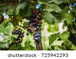 ripe grapes growing | Shutterstock . vector #725942293