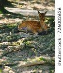 japan's famous nara deer. sika... | Shutterstock . vector #726002626