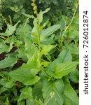 Small photo of Good Henry, Chenopodium bonus-henricus, medicinal plants; Herbs