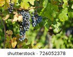 black grapes in autumn vineyard | Shutterstock . vector #726052378