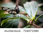 black tropical butterfly from... | Shutterstock . vector #726071080
