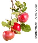 somewhat ripe apple on a branch ... | Shutterstock . vector #726077050
