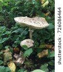 brown mushrooms leaf in pine...   Shutterstock . vector #726086464