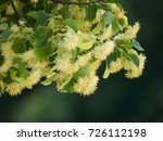 branches of a blooming lime...   Shutterstock . vector #726112198