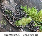 Many Zoned Polypore Fungus And...