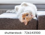 Lazy White Ragdoll Cat With...