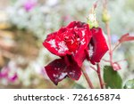 The First Snow On The Rosebud