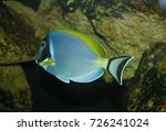 Small photo of Acanthurus nigricans