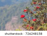 blooming of red rhododendron on ... | Shutterstock . vector #726248158