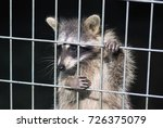 Raccoon In A Cage. Raccoon In...