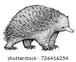 echidna illustration  drawing ... | Shutterstock .eps vector #726416254