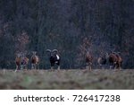 Small photo of close-up of herd of European Mouflons with rams and ewes standing on the field in Czech Republic, musmon ram with big horns looking at the camera,herd of wild ungulates in their natural habitat
