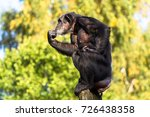 Adult Chimpanzee Sitting And...