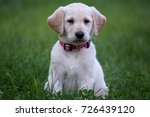 Stock photo adorable yellow lab puppy 726439120