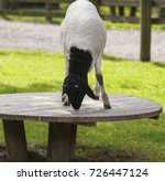somali black headed sheep... | Shutterstock . vector #726447124