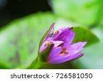macro shot of a lotus flower .   Shutterstock . vector #726581050