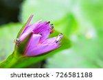macro shot of a lotus flower .   Shutterstock . vector #726581188